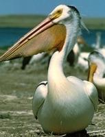 white-pelicansmall